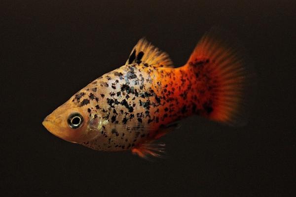 Xiphophorus maculatus - Platy 50