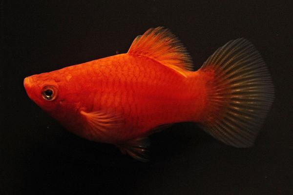 Xiphophorus maculatus - Platy 51
