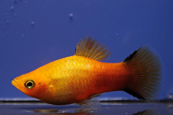 Xiphophorus maculatus - Platy 52