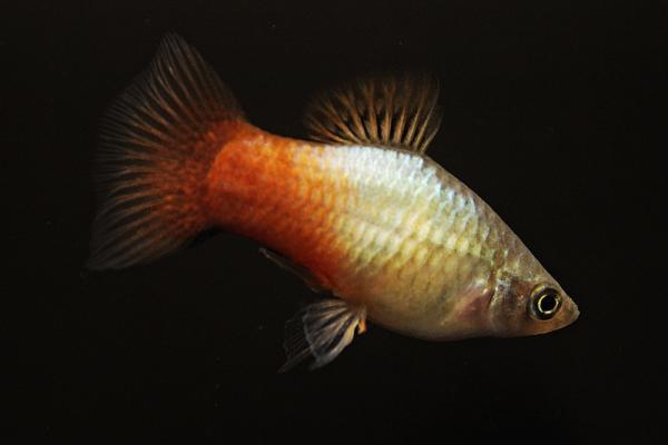 Xiphophorus maculatus - Platy 53