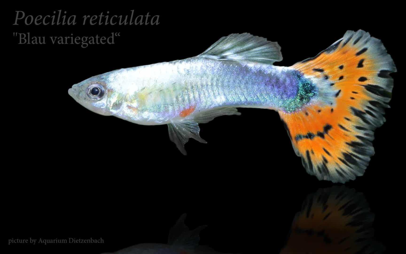 Poecilia reticulata - Guppy 50