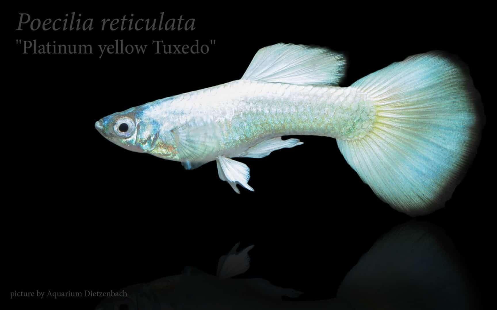 Poecilia reticulata - Guppy 51