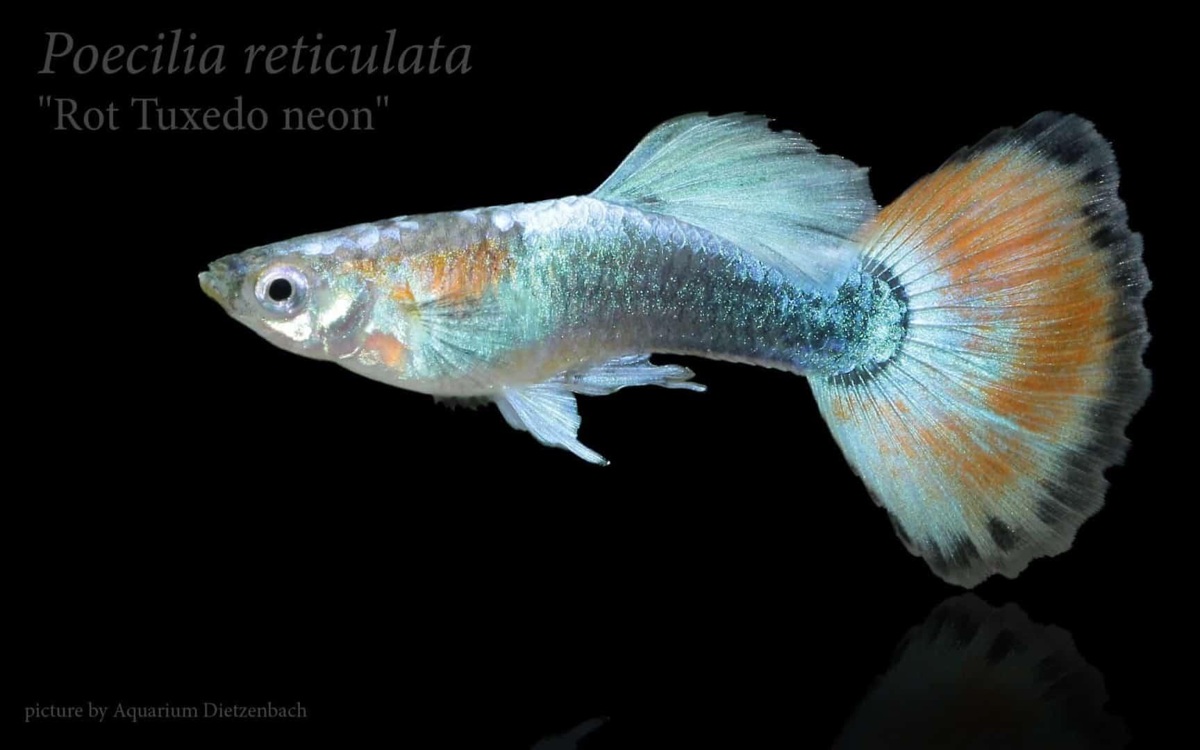Poecilia reticulata - Guppy 52
