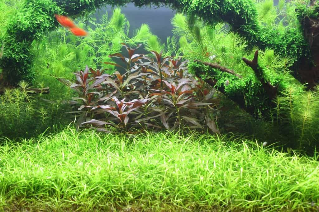 Echinodorus tenellus - Grasartige Zwergschwertpflanze 4