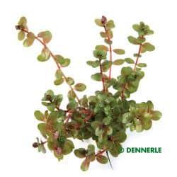 Rotala rotundifolia - Kleine Rotala 2