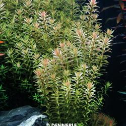 Rotala rotundifolia - Kleine Rotala 3