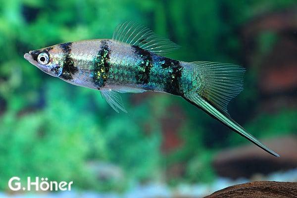 Xiphophorus hellerii - Schwertträger 19