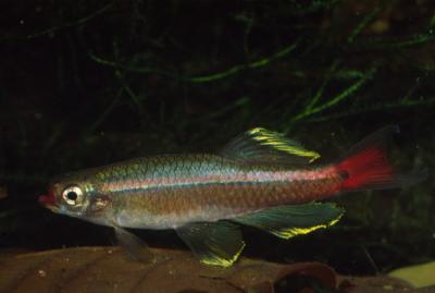 Tanichthys albonubes - Kardinalfisch 4