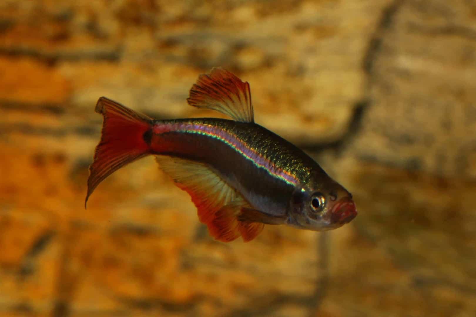 Tanichthys albonubes - Kardinalfisch 7