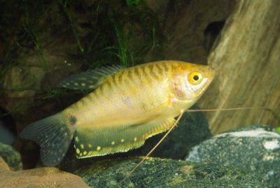 Trichopodus trichopterus - Blauer Fadenfisch 2