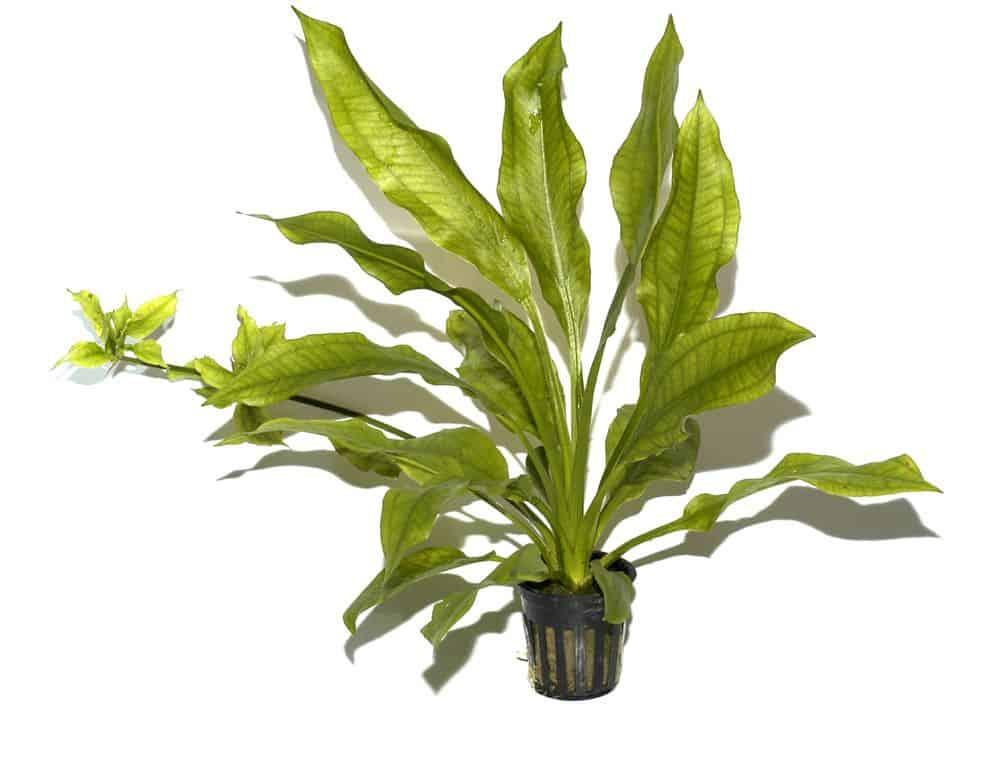 Echinodorus bleheri - Große Amazonas-Schwertpflanze 8