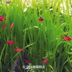 Vallisneria spiralis - Glattblättrige Vallisnerie 5