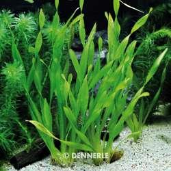 Vallisneria tortifolia - Kleine Schrauben-Vallisnerie 4