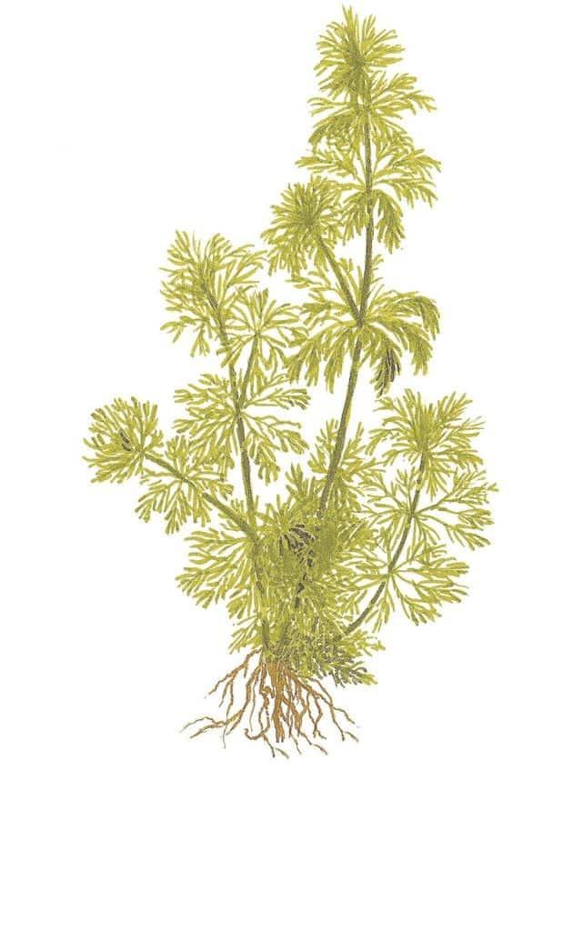 Limnophila sessiliflora - Kleine Ambulia 5