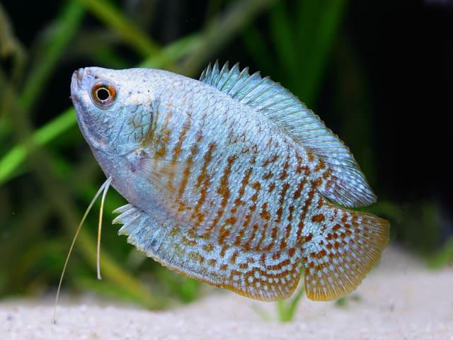 Colisa lalia - Zwergfadenfisch 5