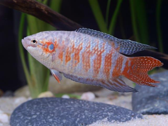 Makropodus opercularis - Paradiesfisch, Makropode 5