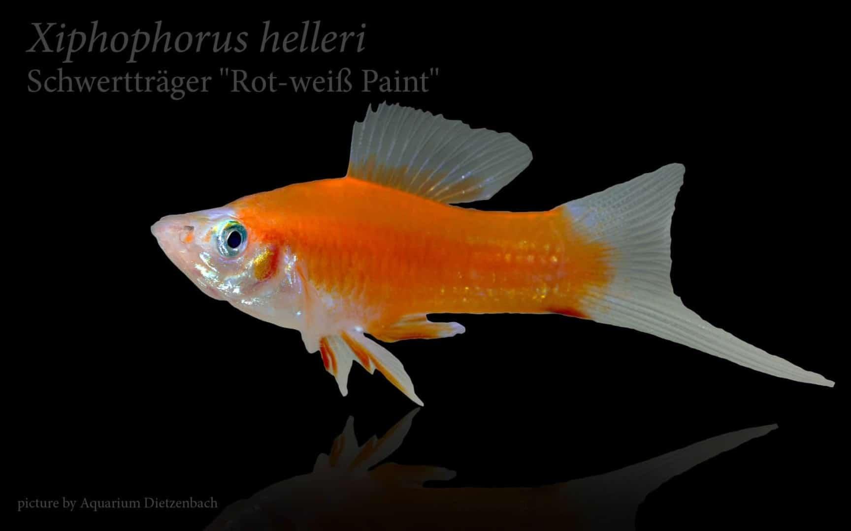 Xiphophorus hellerii - Schwertträger 40