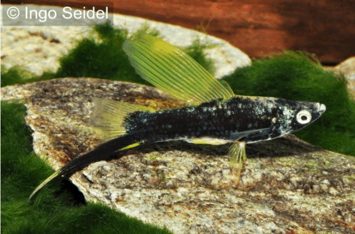 Xiphophorus hellerii - Schwertträger 27