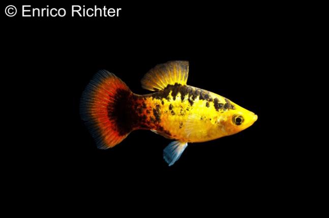 Xiphophorus maculatus - Platy 31