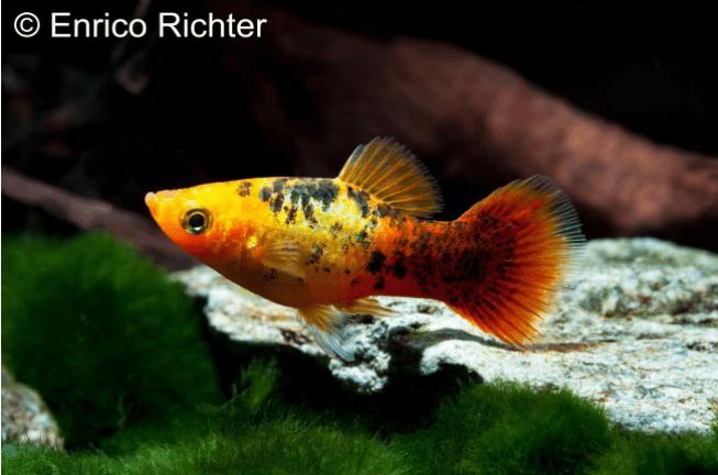 Xiphophorus maculatus - Platy 32