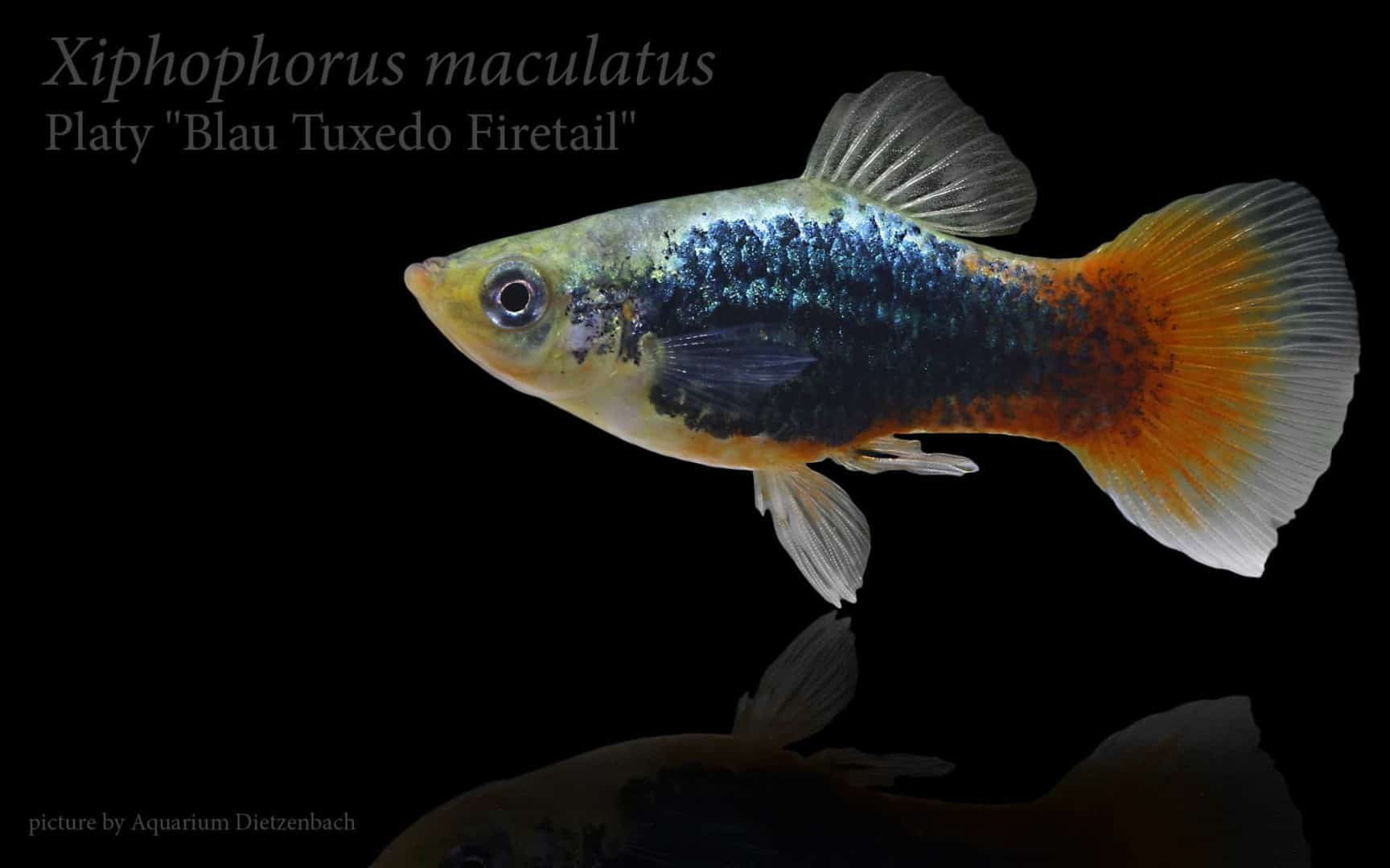 Xiphophorus maculatus - Platy 18