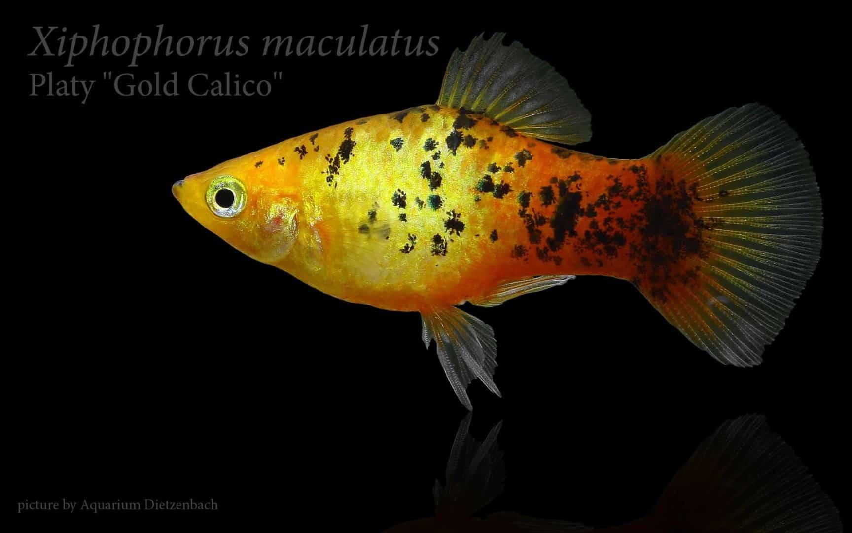 Xiphophorus maculatus - Platy 30