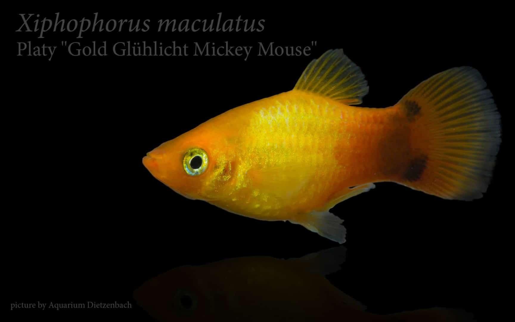 Xiphophorus maculatus - Platy 19