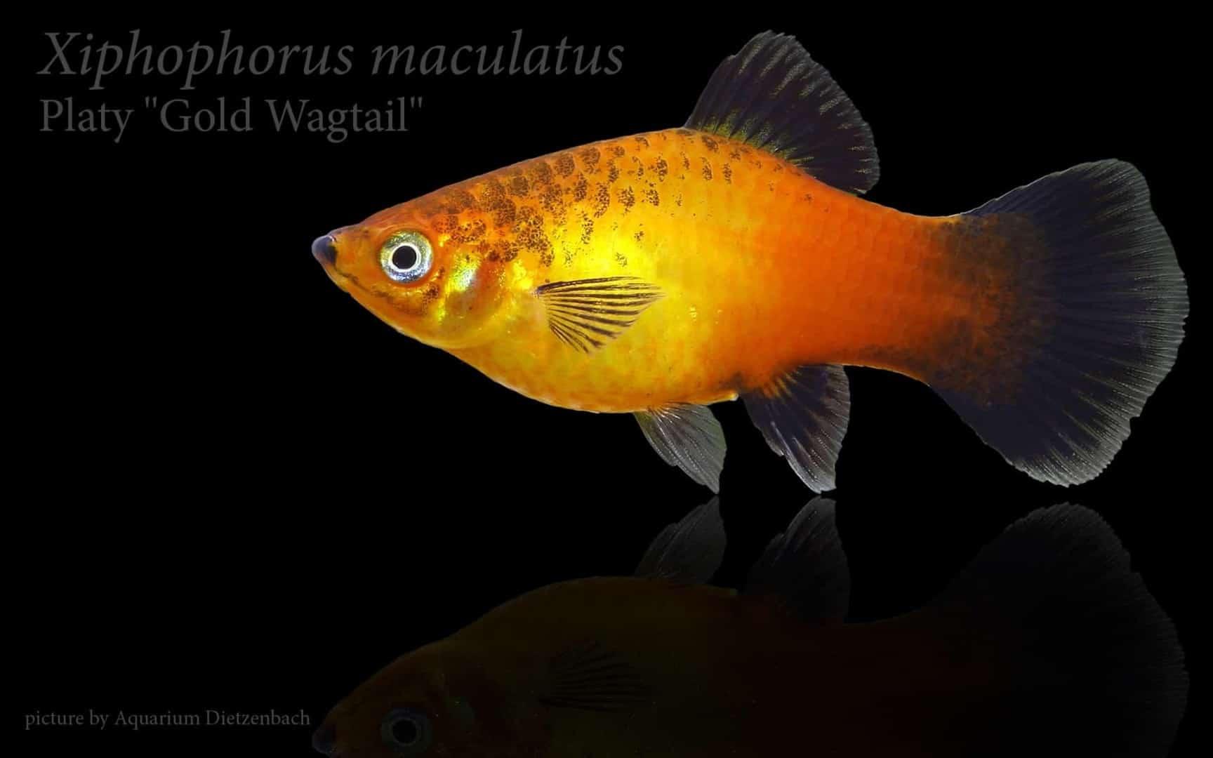 Xiphophorus maculatus - Platy 20