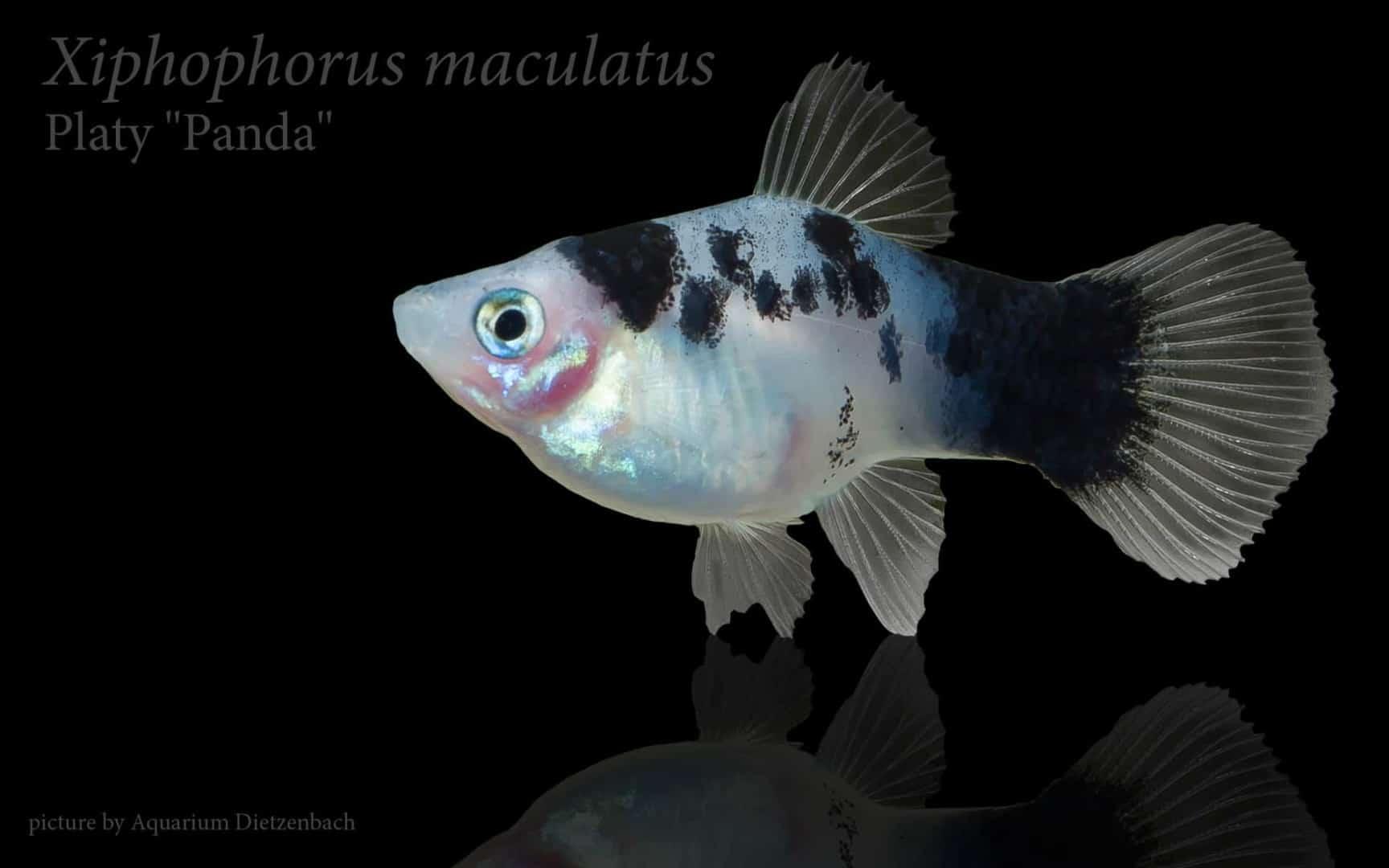 Xiphophorus maculatus - Platy 21