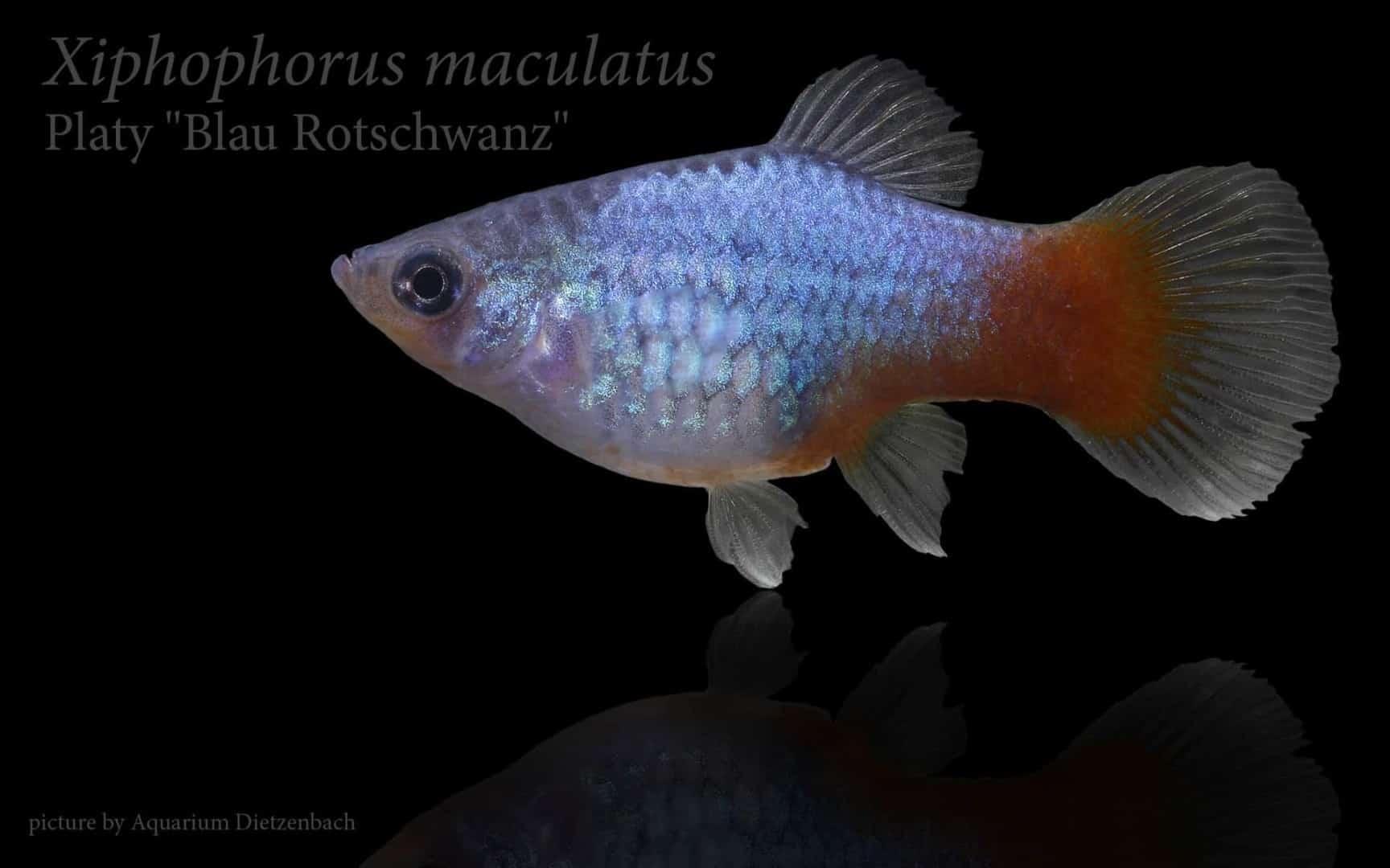 Xiphophorus maculatus - Platy 17