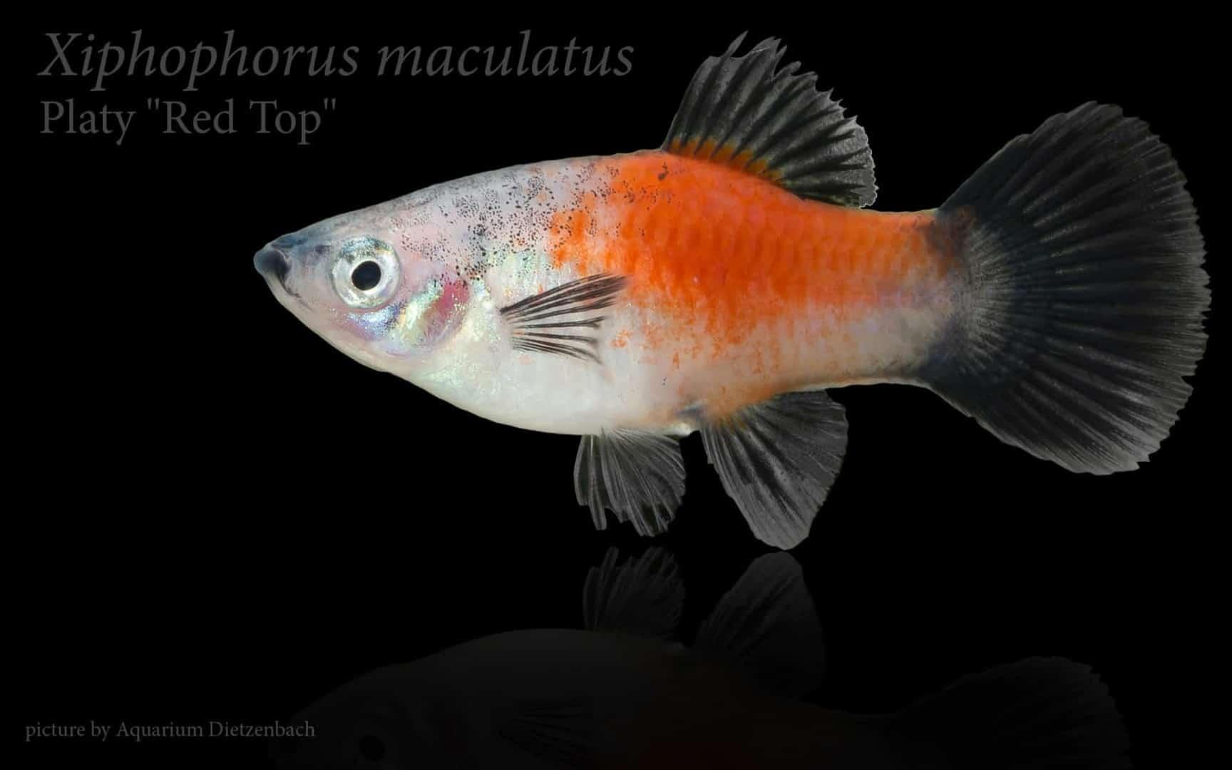Xiphophorus maculatus - Platy 22