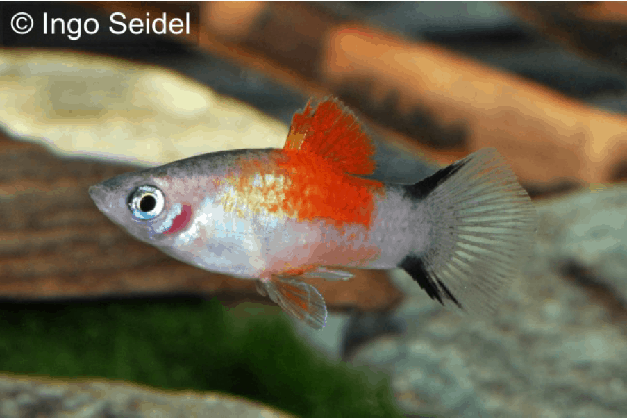 Xiphophorus maculatus - Platy 5