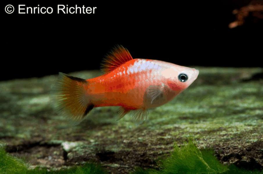 Xiphophorus maculatus - Platy 6