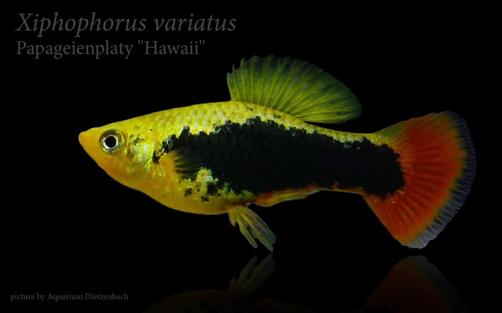 Xiphophorus variatus - Papageienplaty 5