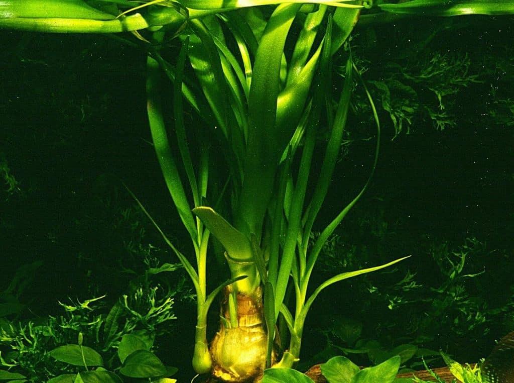 Crinum thaianum - Thailand-Wasserlilie 6