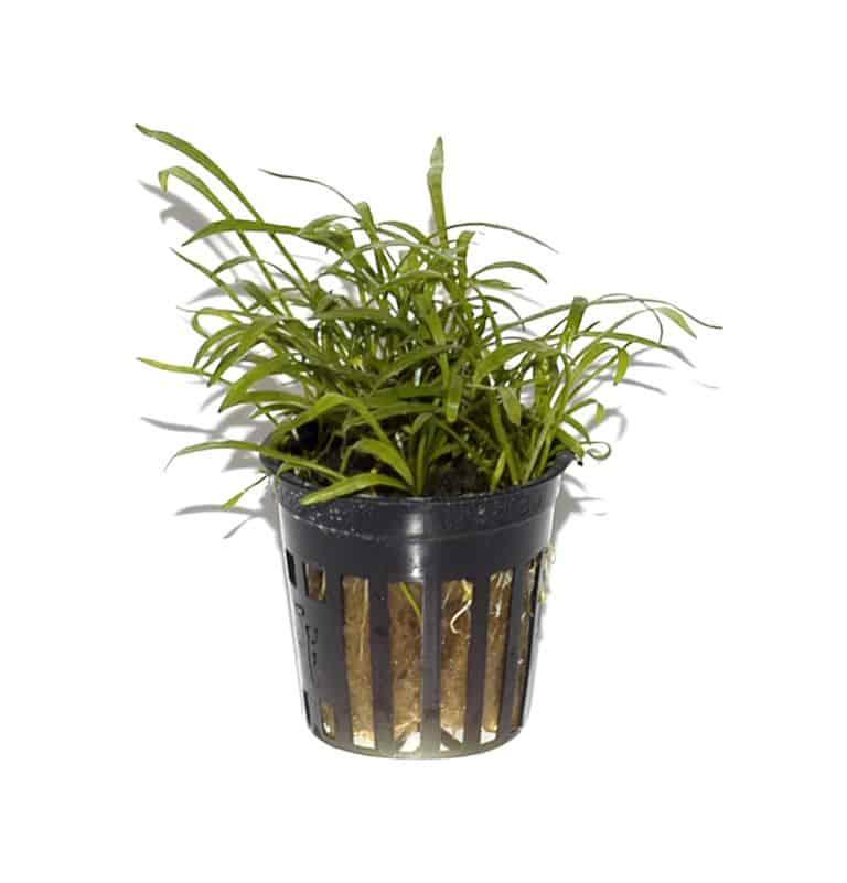 Lilaeopsis brasiliensis - Graspflanze 5