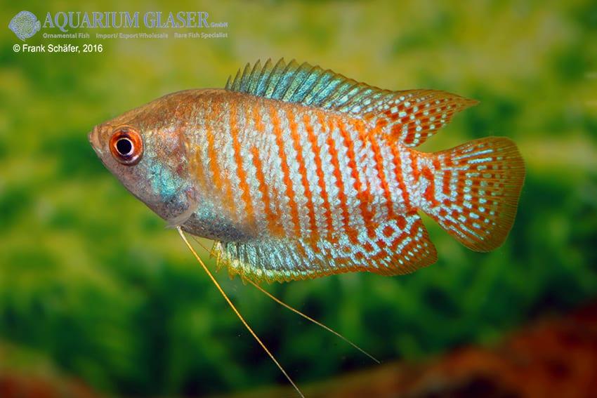 Colisa lalia - Zwergfadenfisch 13