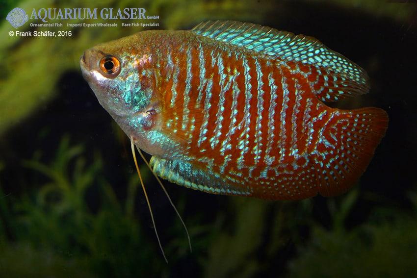 Colisa lalia - Zwergfadenfisch 14
