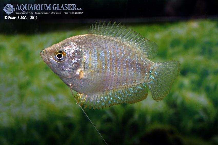 Colisa lalia - Zwergfadenfisch 15