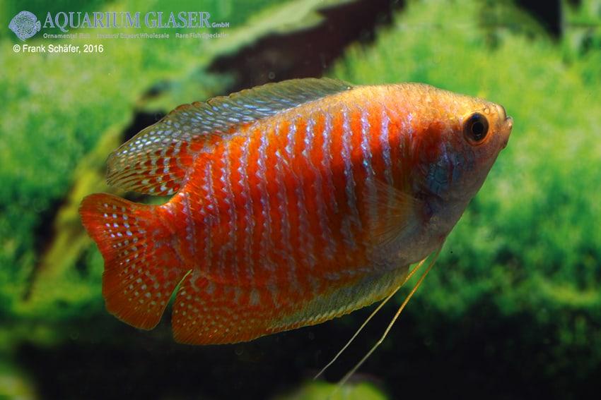 Colisa lalia - Zwergfadenfisch 16