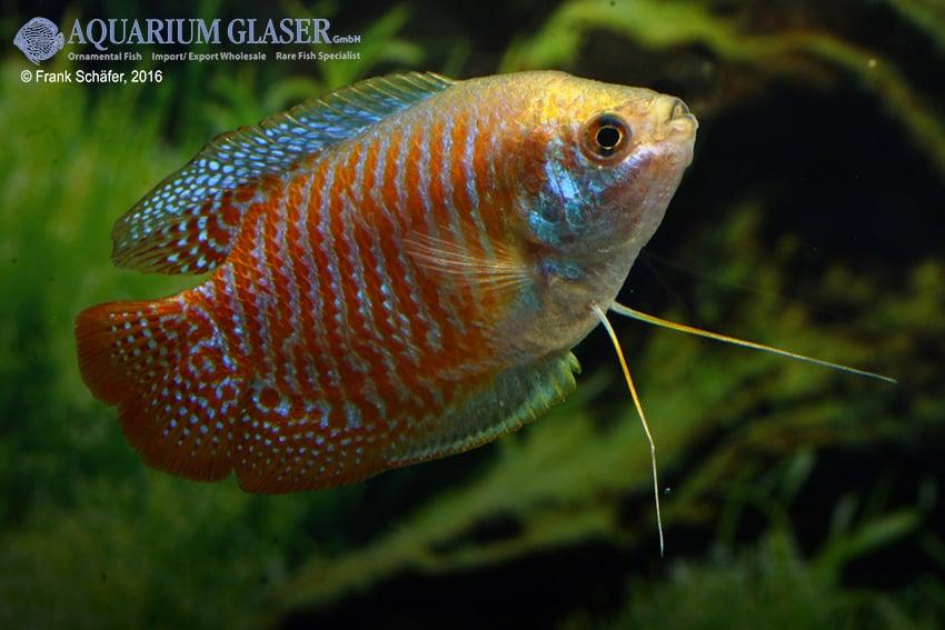 Colisa lalia - Zwergfadenfisch 17