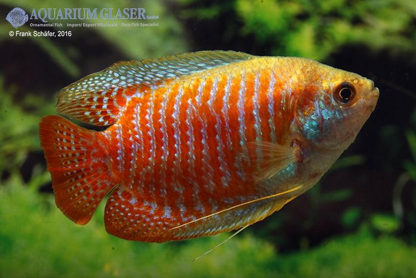 Colisa lalia - Zwergfadenfisch 18