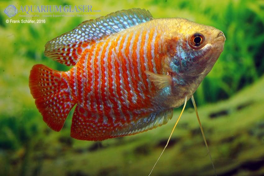 Colisa lalia - Zwergfadenfisch 19