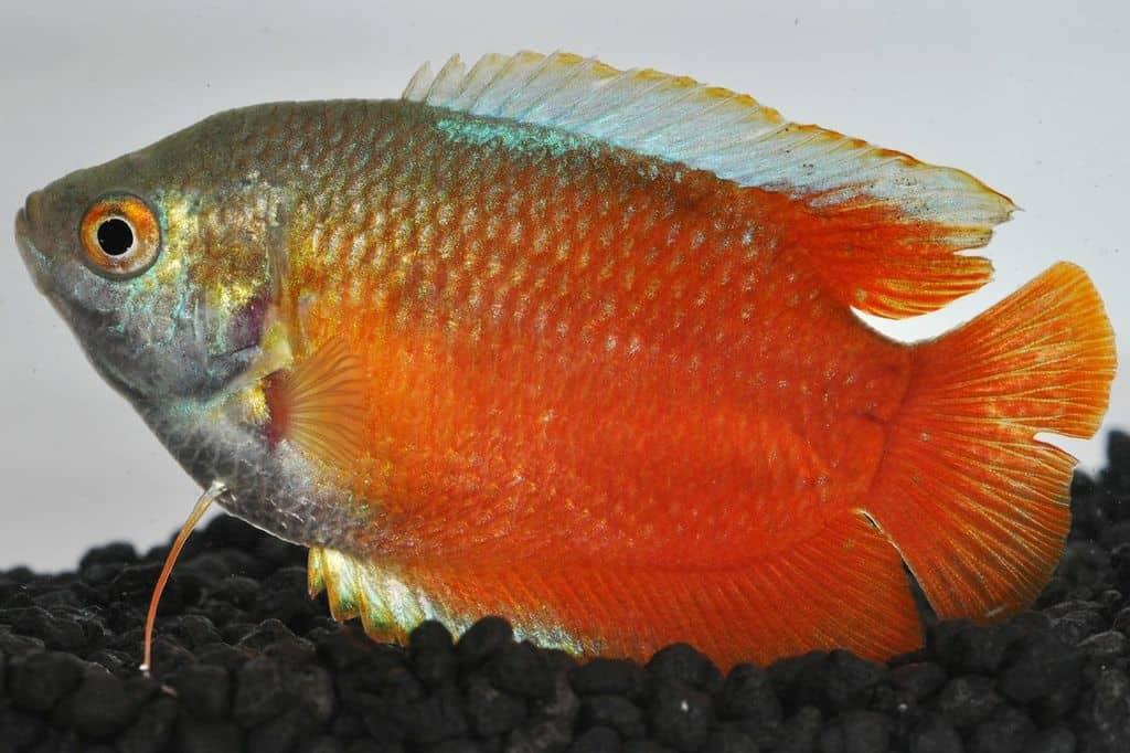 Colisa lalia - Zwergfadenfisch 6
