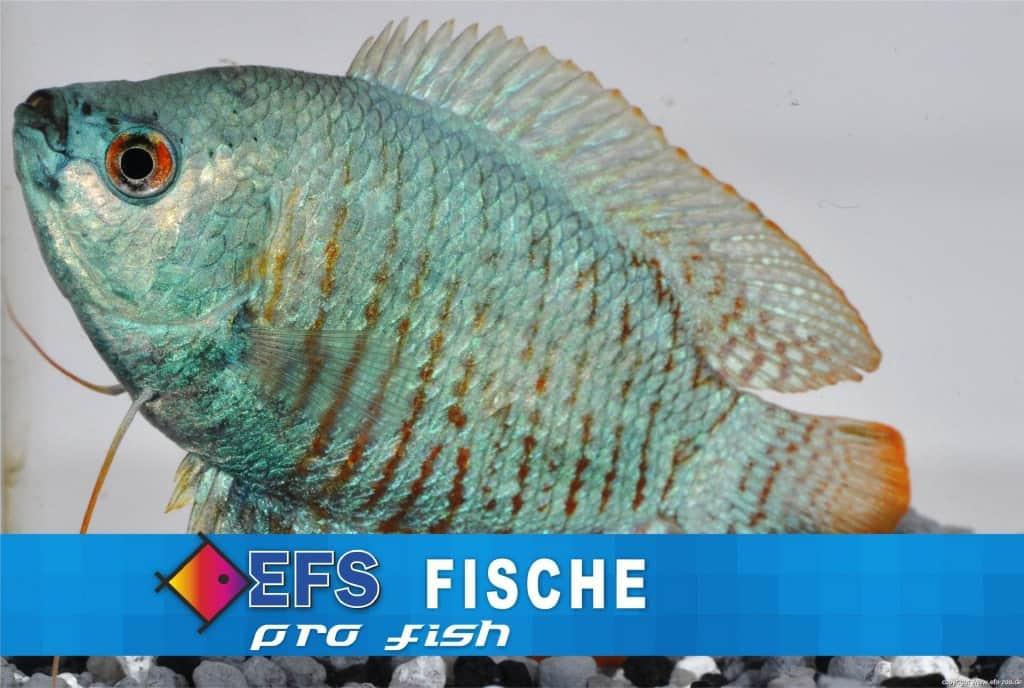 Colisa lalia - Zwergfadenfisch 7