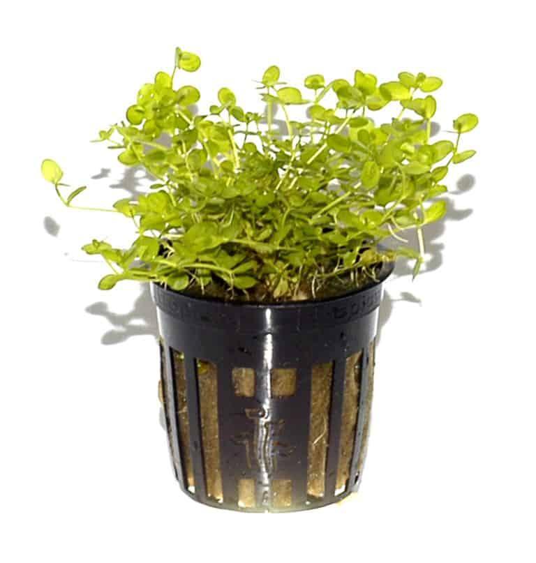 Micranthemum umbrosum - Perlenkraut 2