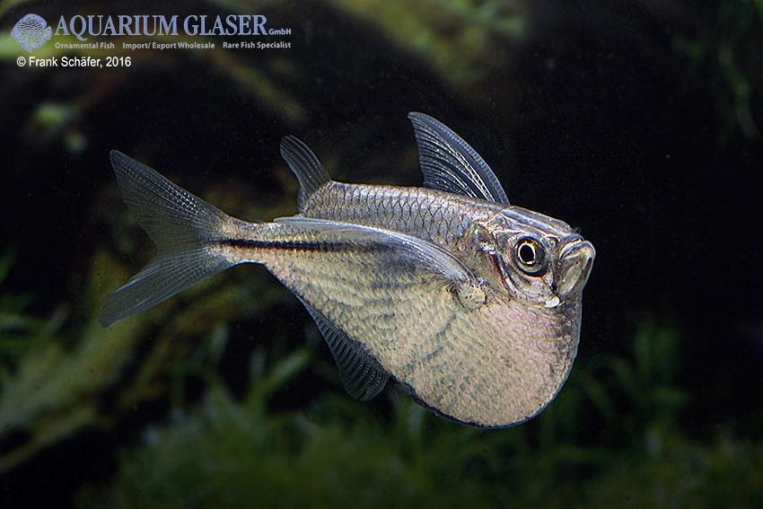 Gasteropelecus sternicla - Silberbeilbauch 4