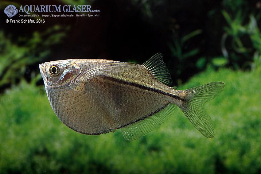 Gasteropelecus sternicla - Silberbeilbauch 6
