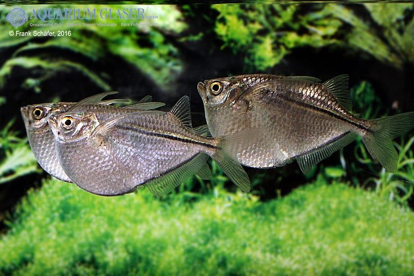 Gasteropelecus sternicla - Silberbeilbauch 8