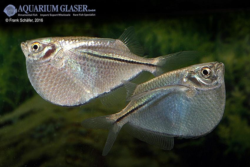 Gasteropelecus sternicla - Silberbeilbauch 9